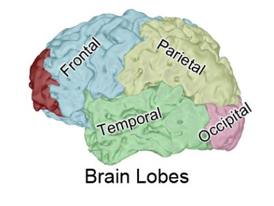 3D View of Brain Lobes