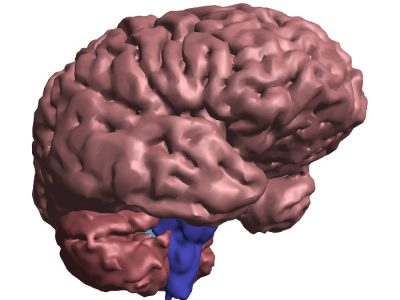 TJs Biomedical Imaging - 3D PDF - Brain Close-up