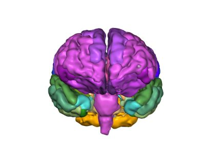 TJs Biomedical Imaging - 3D PDF - Detailed breakdown of individual lobes